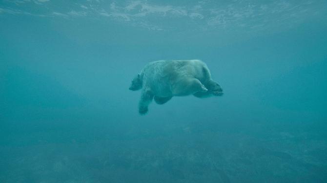 Ours polaire nageant dands la baie d'Hudson.